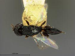 Image of <i>Eurytoma phloeotribi</i> Ashmead 1894