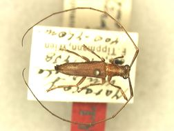 Image of <i>Amillarus secundus</i> (Tippmann 1951)