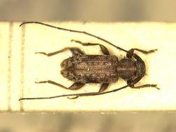 Image of <i>Aegocidnexocentrus tippmanni</i> Breuning 1957