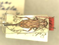 Image of <i>Nyssodrysternum striatellum</i> (Tippmann 1960)