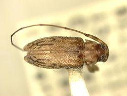 Image of <i>Urgleptes ozophagus</i> Chemsak & Feller 1988