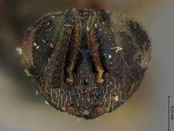 Image of <i>Eupelmus quercus</i> Ashmead 1886