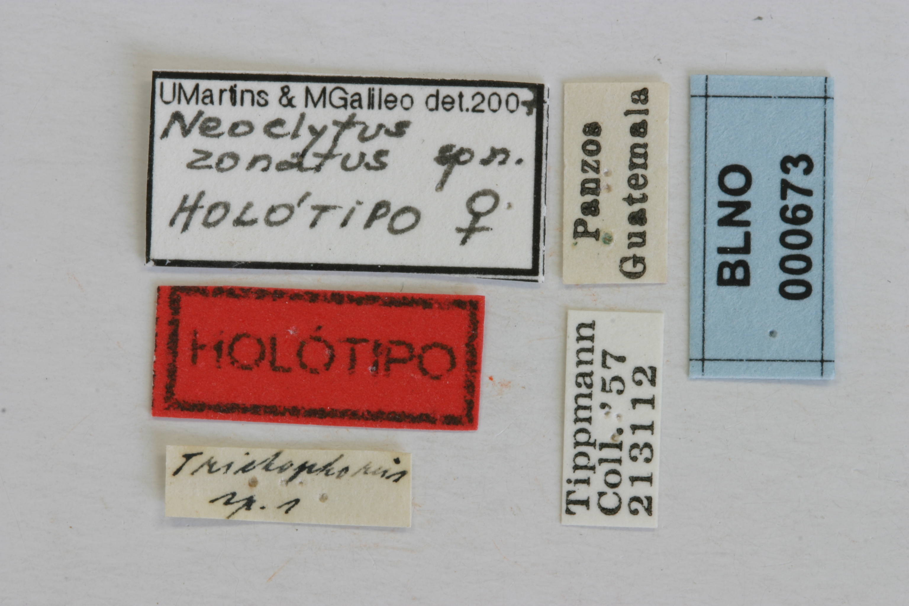 Image of <i>Neoclytus zonatus</i> Martins & Galileo 2008