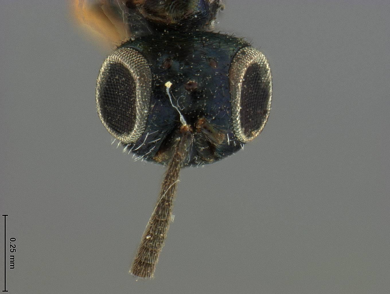 Image of <i>Eupelmus rosae</i> Ashmead 1882
