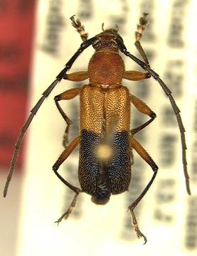 Image of <i>Pseudothonalmus woodleyi</i> Lingafelter, Micheli & Guerrero 2004