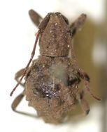 Image of <i>Phrynidius echinoides</i> Breuning 1940