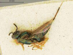 Image of <i>Eupelmus konae</i> var. <i>rufipes</i> Ashmead