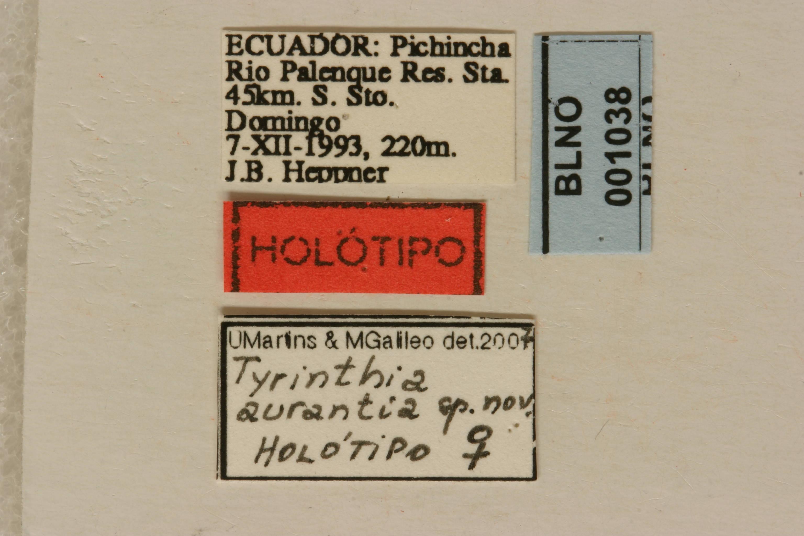 Image of <i>Tyrinthia aurantia</i> Martins & Galileo 2007