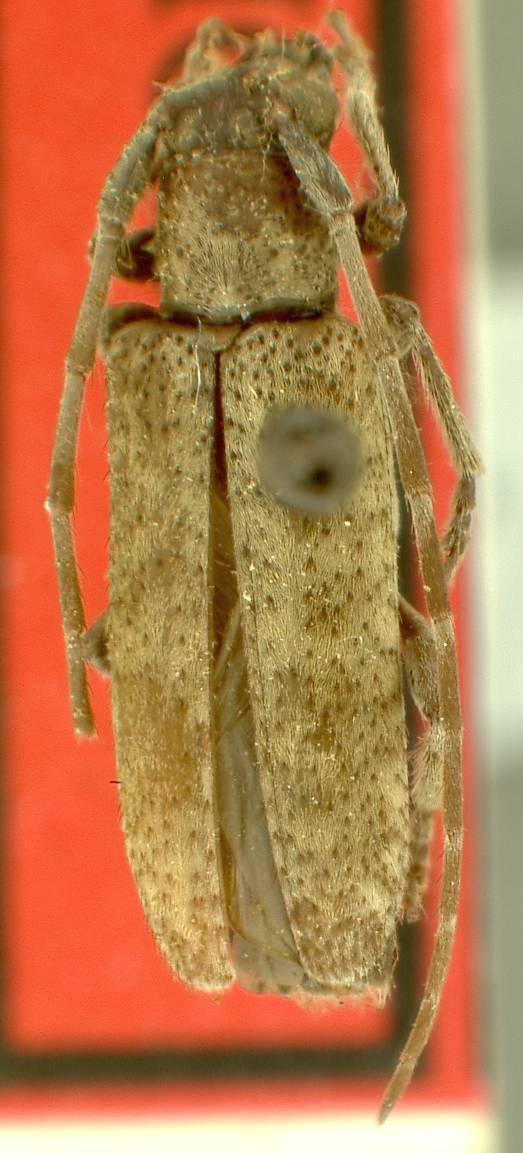 Image of <i>Drycothaea gaucha</i> Galileo & Martins 2008
