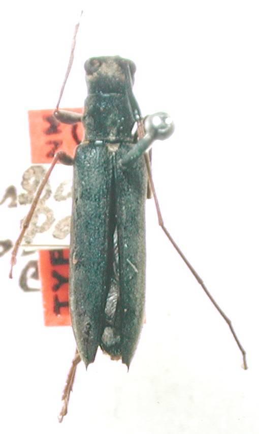 Image of <i>Grammopsoides tenuicornis</i> (Casey 1913)