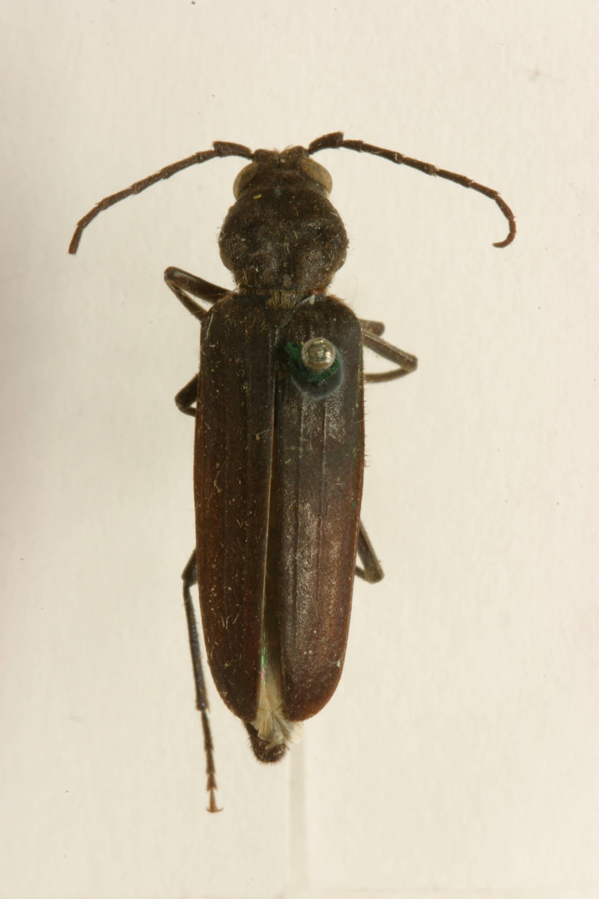 Image of <i>Arhopalus asperatus</i> (Le Conte 1859)
