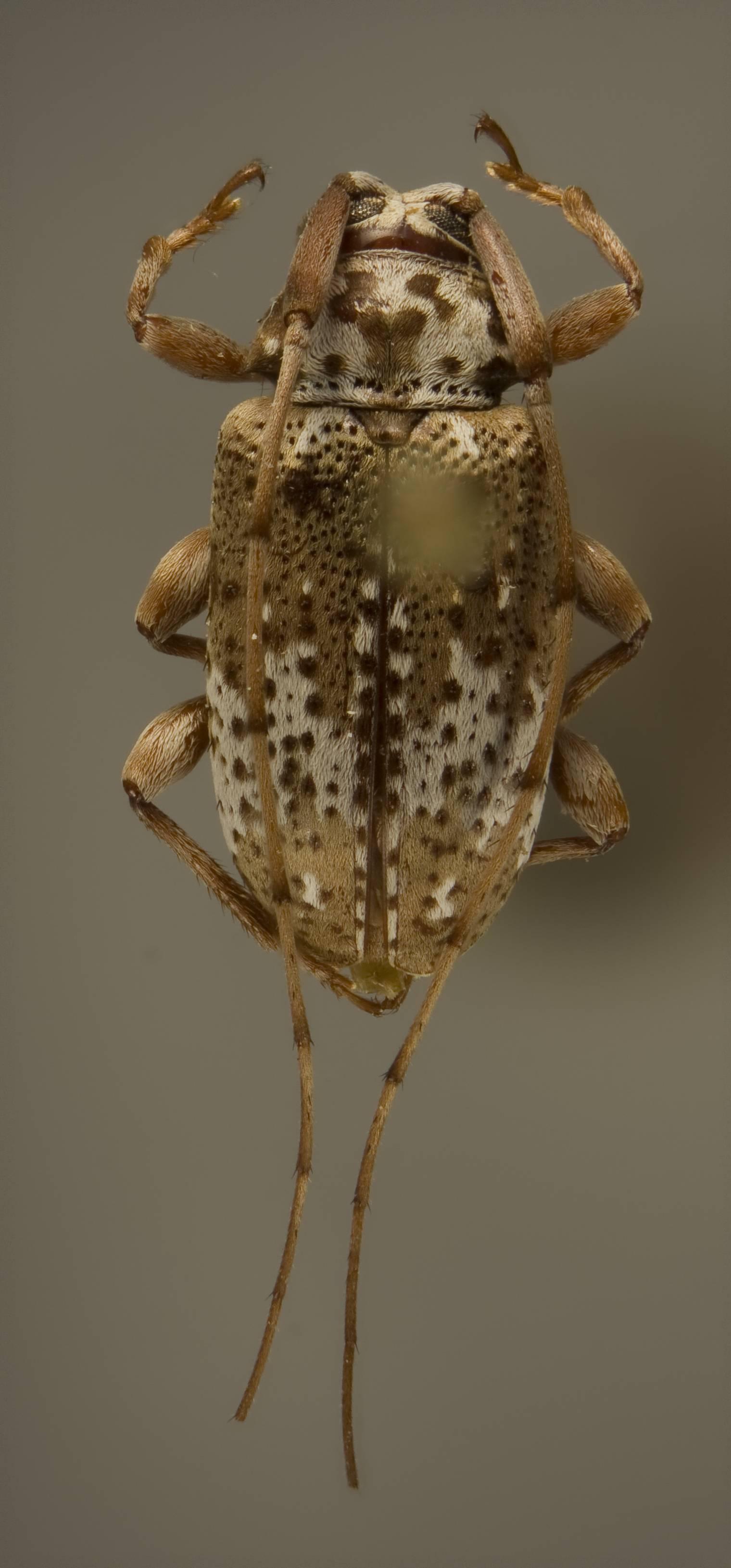 Image of <i>Baryssinus giesberti</i> Monné M. A. & Monné M. L. 2007
