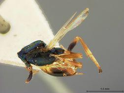 Image of <i>Eupelmus santaremensis</i> Ashmead 1904