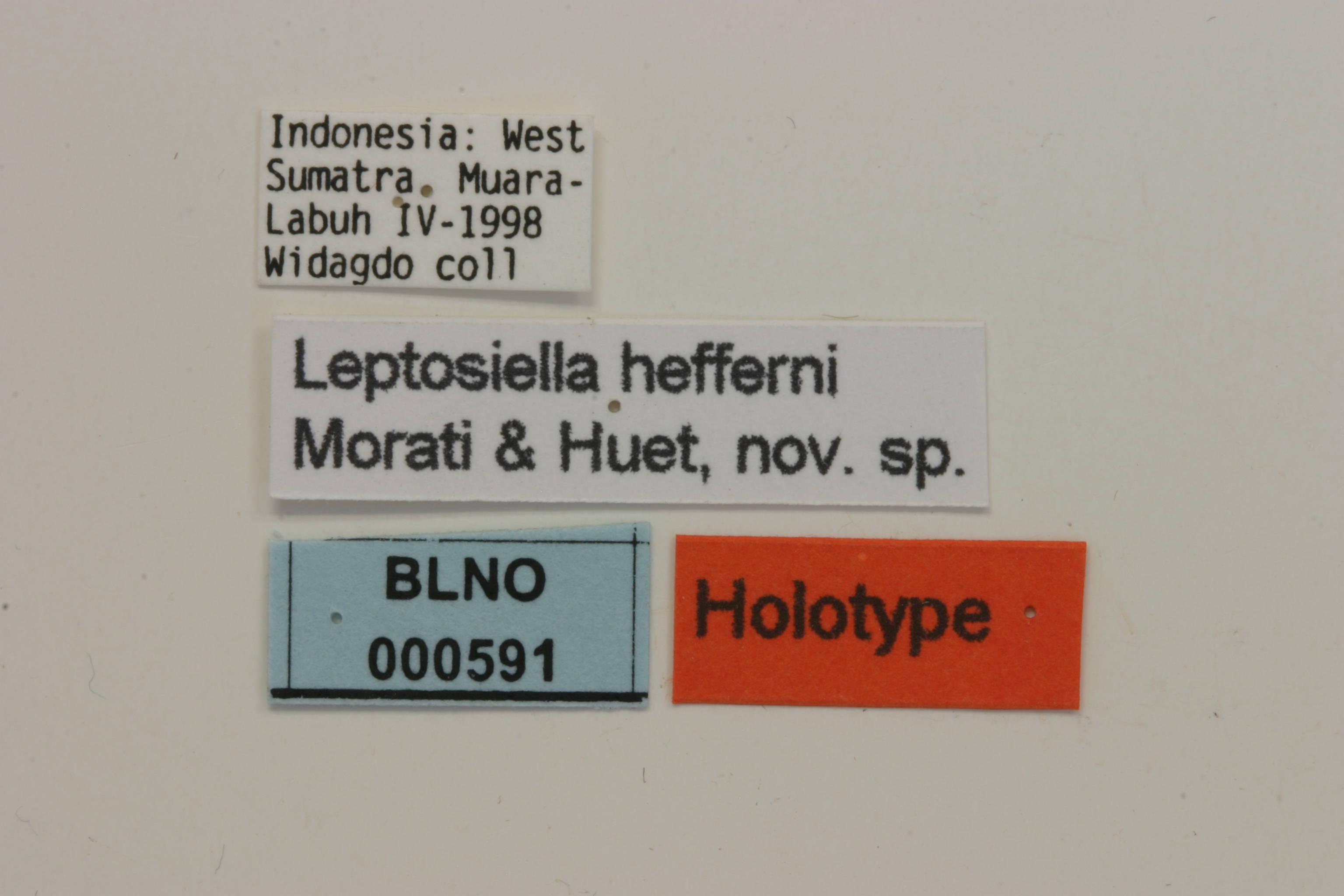 Image of <i>Leptosiella hefferni</i> Morati & Huet 2004