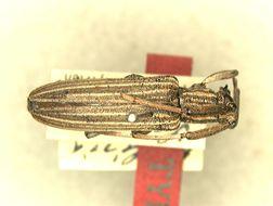 Image of <i>Hyllisia kenyensis</i> Breuning 1948