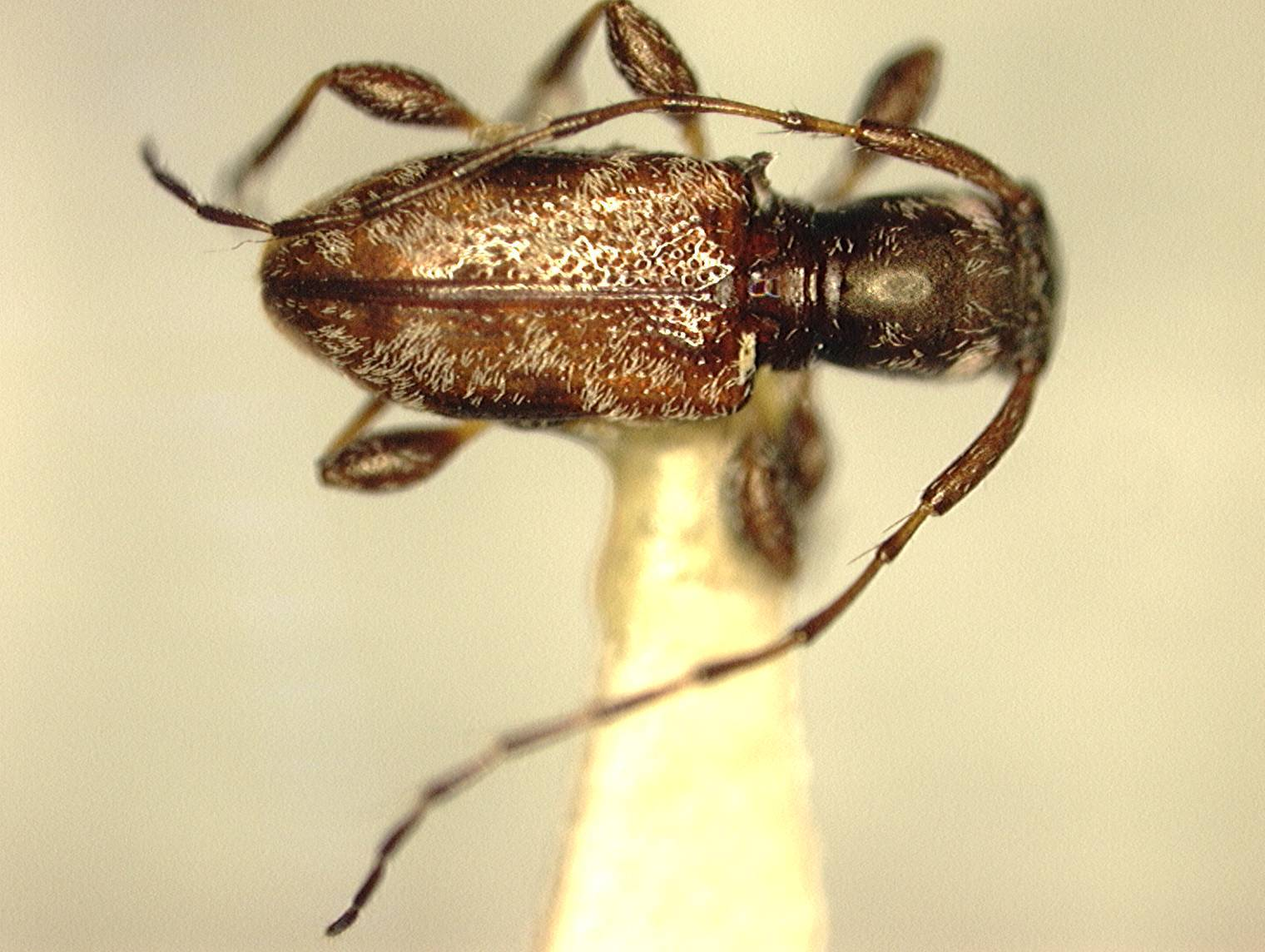 Image of <i>Decarthria boricua</i> Micheli 2003