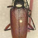 Image of <i>Elateropsis fellerae</i> Chemsak