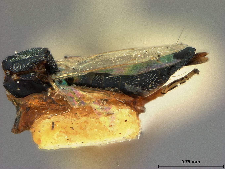 Image of <i>Eupelmus sphaericephalus</i> Ashmead 1886