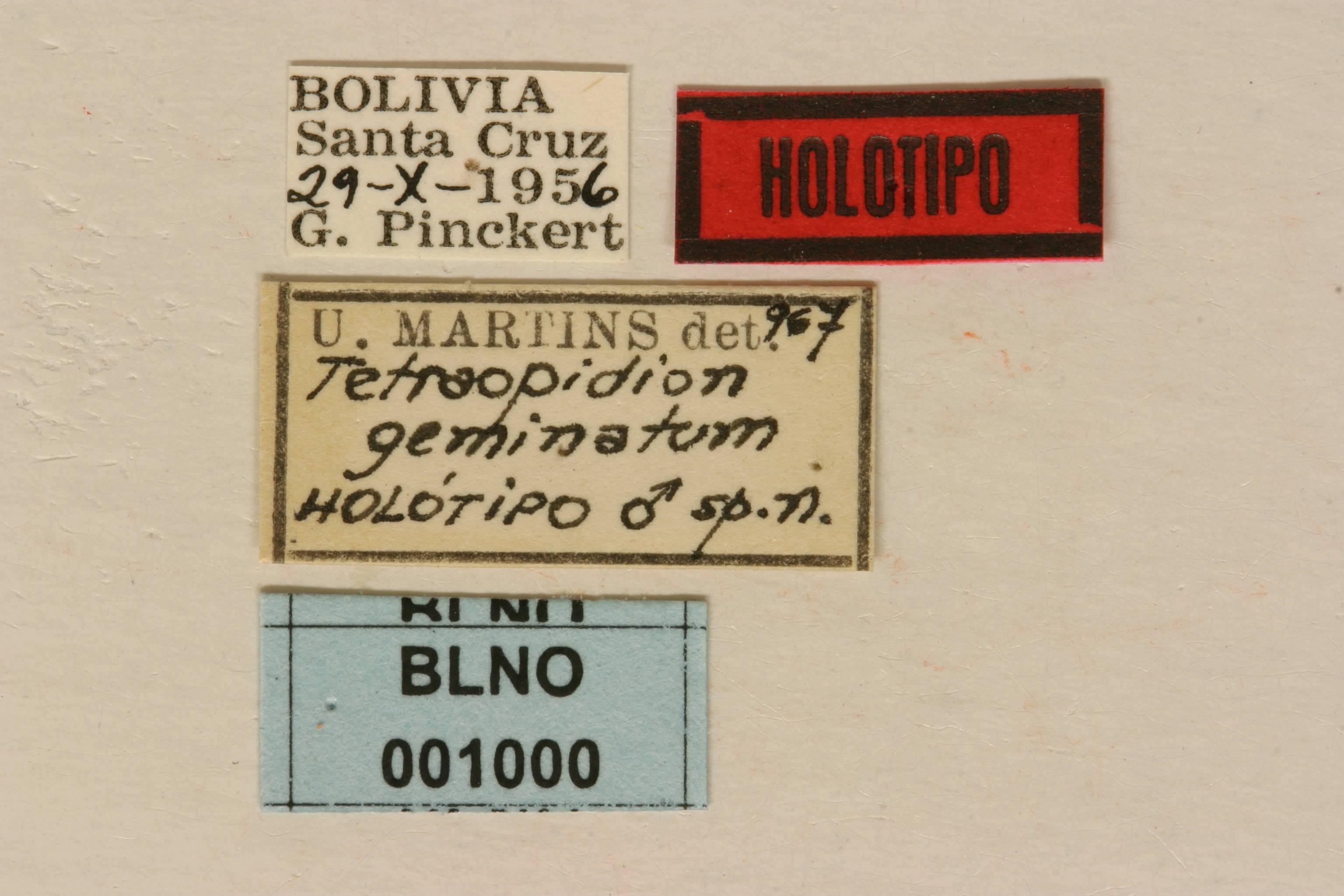Image of <i>Tetraopidion geminatum</i> Martins 1969