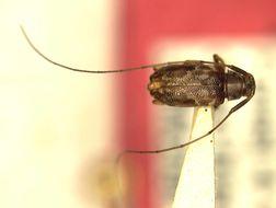 Image of <i>Urgleptes borikensis</i> Micheli & Micheli 2004