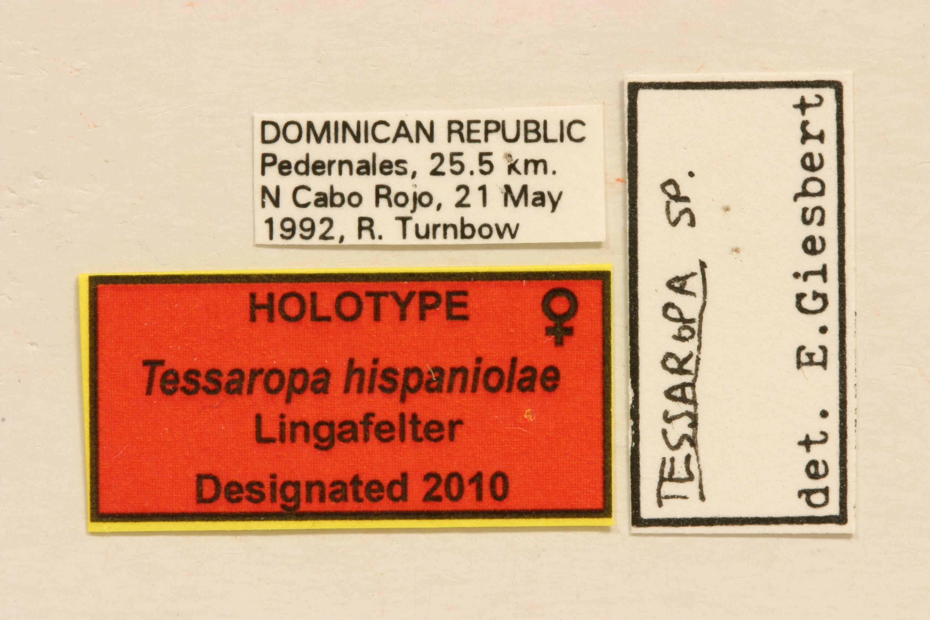 Image of <i>Tessaropa hispaniolae</i> Lingafelter 2010