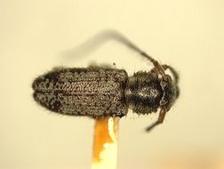 Image of <i>Xaenapta denticollis</i> Fisher 1925