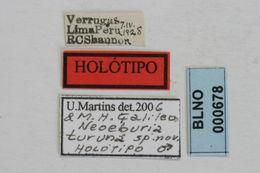 Image of <i>Neoeburia turuna</i> Galileo & Martins 2006
