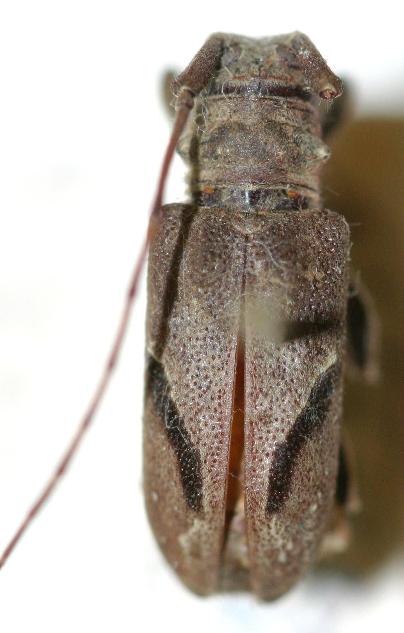 Image of <i>Falsodihammus nigrovittatus</i> Breuning