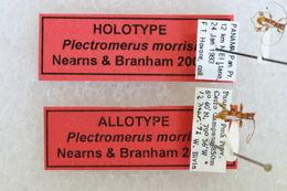 Image of <i>Plectromerus morrisi</i> Nearns & Branham 2008