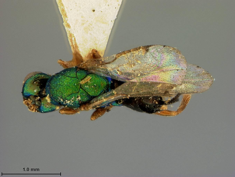 Image of <i>Torymus sylvicola</i> Ashmead 1904