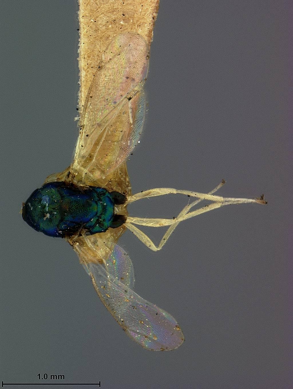 Image of <i>Chrysocharis compressicornis</i> Ashmead 1895