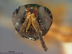 Image of <i>Eupelmus conigerae</i> Ashmead 1885
