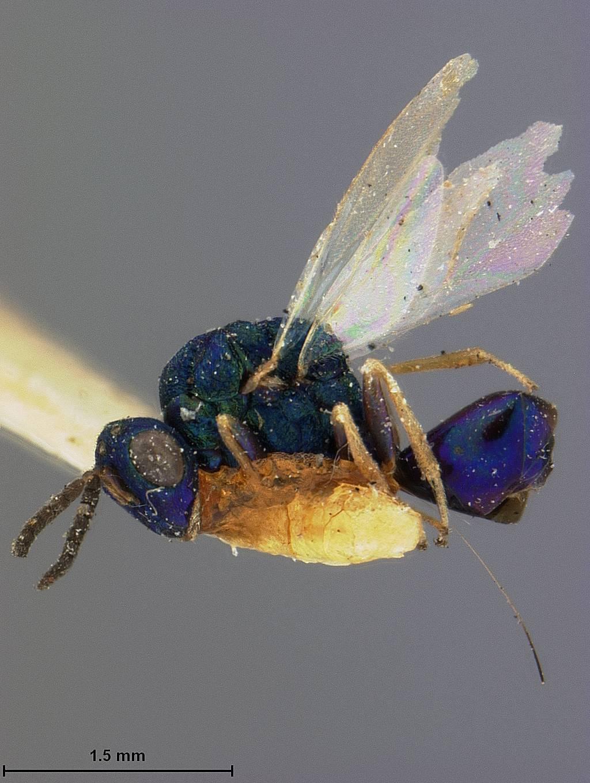 Image of <i>Orasema violacea</i> Ashmead 1888