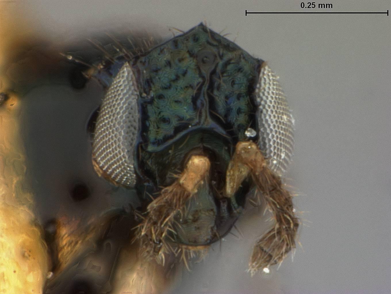 Image of <i>Elasmus philippinensis</i> Ashmead 1904