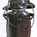 Image of <i>Stenodontes chevrolati</i> Gahan 1890