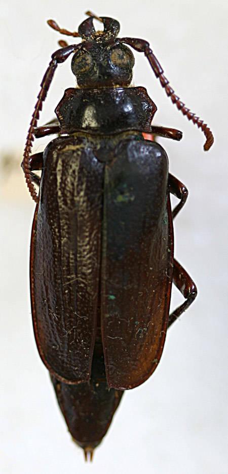 Image of <i>Prionus</i> (<i>Antennalia</i>) <i>fissicornis</i> Haldeman 1848