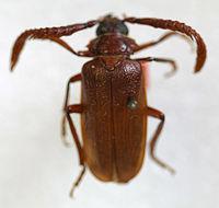 Image of Tile-horned Prionus