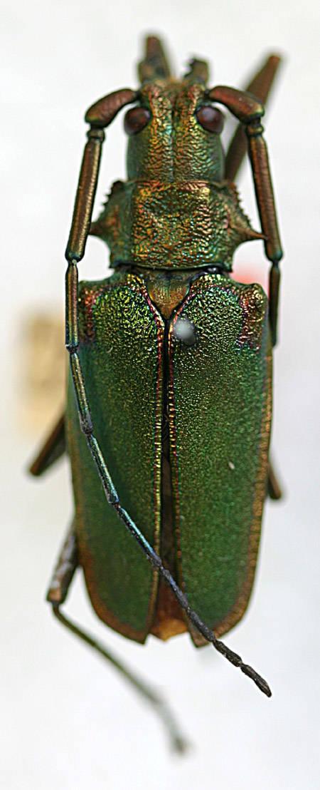 Image of <i>Scatopyrodes tenuicornis marginatus</i> (White 1853)