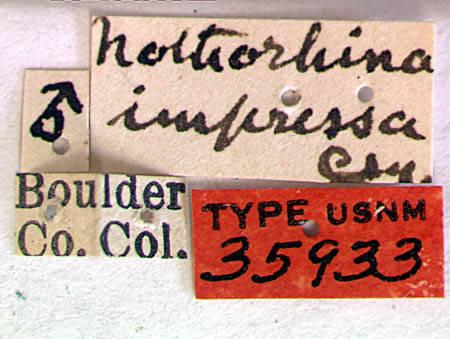 Image of <i>Megasemum asperum</i> (Le Conte 1854)
