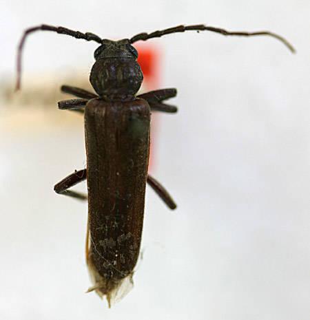 Image of <i>Arhopalus rusticus montanus</i> (Le Conte 1873)