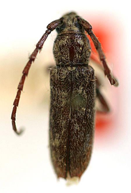 Image of mulberry bark borer