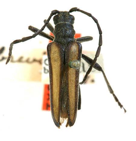 Image of <i>Stenocorus obtusus</i> (Le Conte 1873)