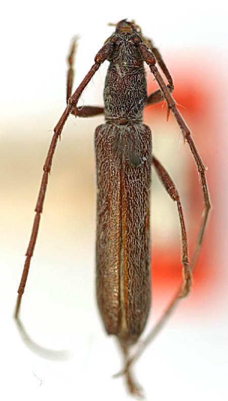 Image of <i>Aneflomorpha rectilinea</i> Casey 1924