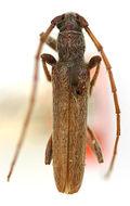 Image of <i>Aneflomorpha gilana</i> Casey 1924