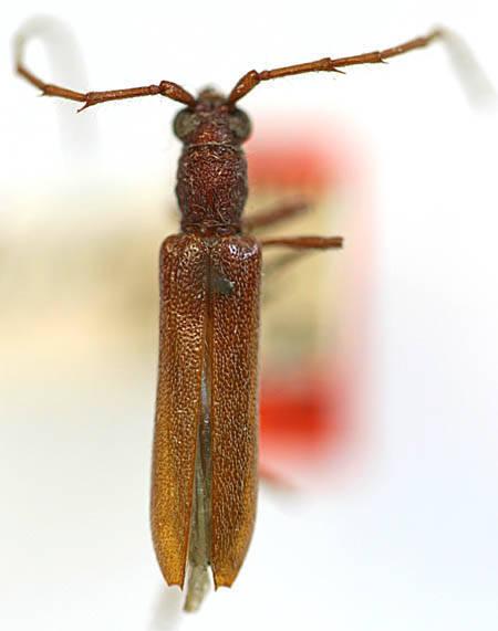 Image of <i>Aneflomorpha parowana</i> Casey 1924