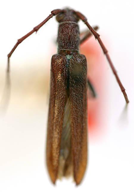 Image of <i>Aneflomorpha unispinosa</i> Casey 1912