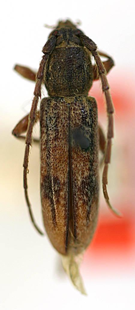 Image of <i>Anelaphus cinereus</i> (Olivier 1795)