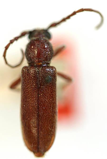 Image of <i>Eustromula validum</i> (Le Conte 1858)