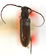 Image of <i>Anelaphus tuckeri</i> (Casey 1924)