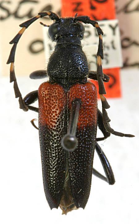Image of <i>Stictoleptura canadensis cribripennis</i> (Le Conte 1859)